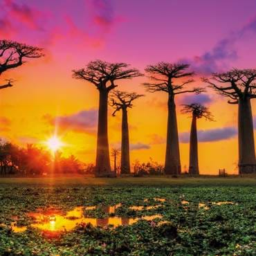 Panoramic view at sunset above Baobab trees